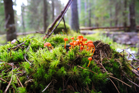 Little orange mushrooms toadstools growing in moss