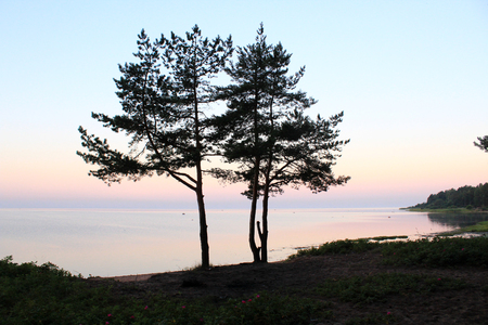 young pines at sunrise Banque d'images