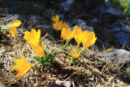 Beautiful yellow crocuses