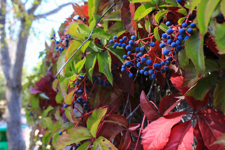 Bright hedge - autumn colors.