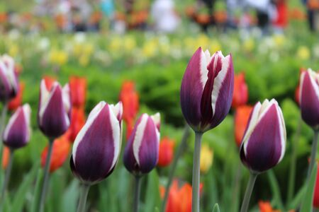 Background of purple tulips close up Banque d'images