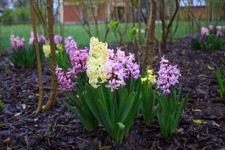 Bright hyacinths close up Banque d'images