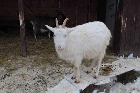 Pets in the stable. Beautiful white goat closeup.