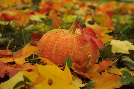 Ripe bright round pumpkin in colorful maple leaves. Banque d'images