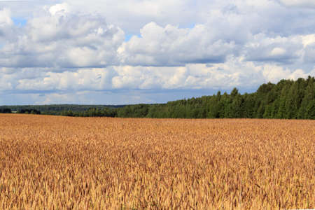 Golden fields of ripe wheat, which will soon be harvested. Blue sky with white clouds.