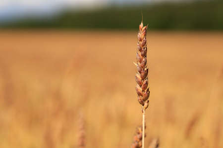 Golden fields of ripe wheat, which will soon be harvested. Blue sky with white clouds. Ears of golden wheat close up