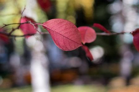 belokurikha: Beautiful red autumn leaf in park
