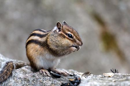 ardilla: La pequeña ardilla roe las semillas de girasol en la madera