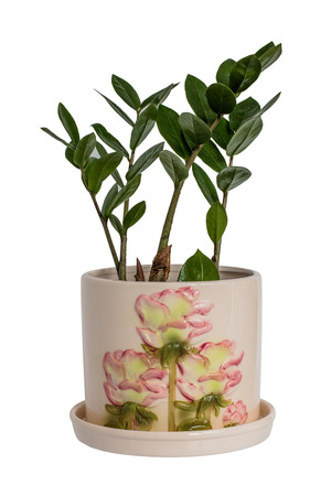 window plant: Window plant in a pot on a white background Stock Photo
