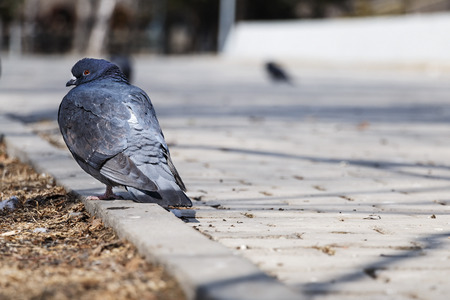 beak pigeon: Wild pigeons on a city square