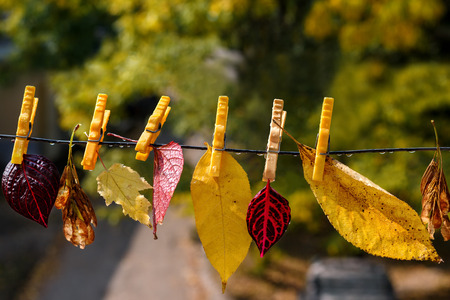 clothespeg: Autumn leaves on clothespins after a rain Stock Photo