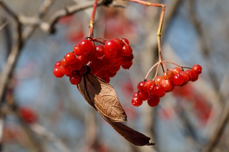 Ripe red berry in the autumn park of rest. Russia, Vladivostok