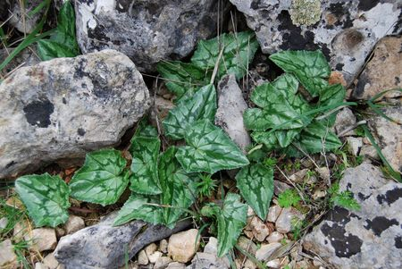 sowbread: Green cyclamen leafs without flowers among gray stones