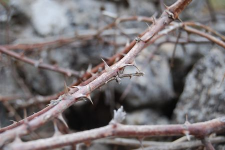 Prickly blackberry thorns with stones as background photo
