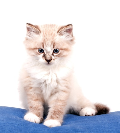 small kitten sits on a blue cloth
