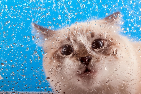 curious young cat looking out the window covered with drops