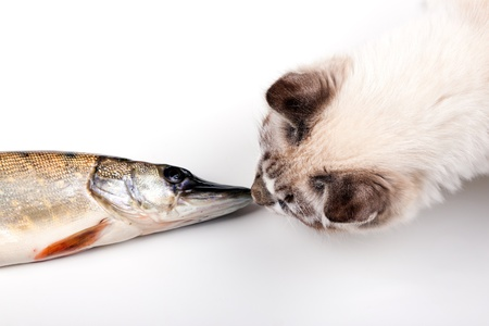 curious young cat playing with a freshly caught fish
