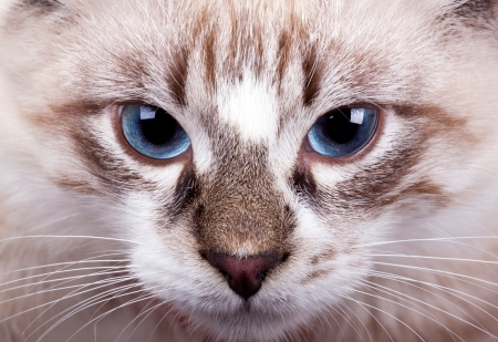 young blue-eyed cat close up