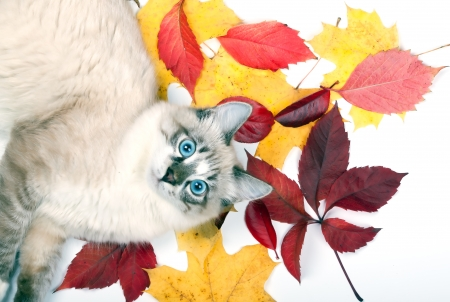 curious young blue-eyed cat lying in the leaves