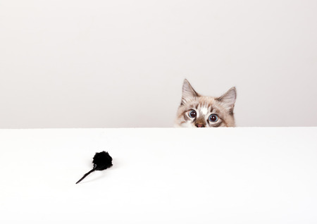 young cat hunts on a toy mouse Banco de Imagens