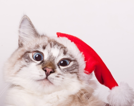 I m Santa  Cat wearing a Santa Claus hat  portrait photo