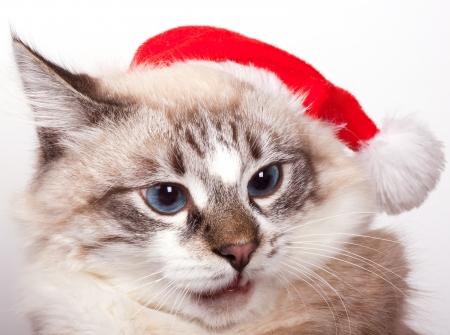 I m Santa  Cat wearing a Santa Claus hat  portrait