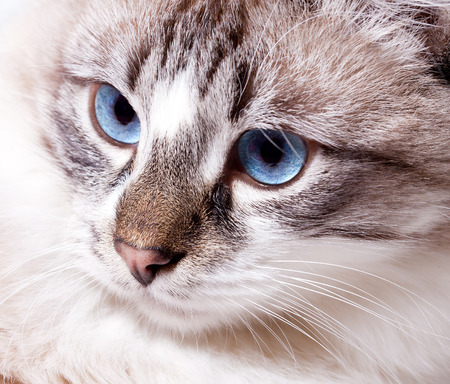 young blue-eyed cat closeup  Neva Masquerade cat Banco de Imagens