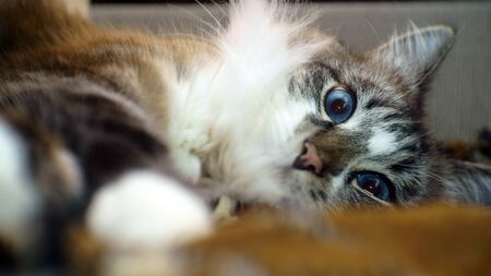 Close-up portrait of a gray fluffy blue-eyed lazy cat.shallow depth of field