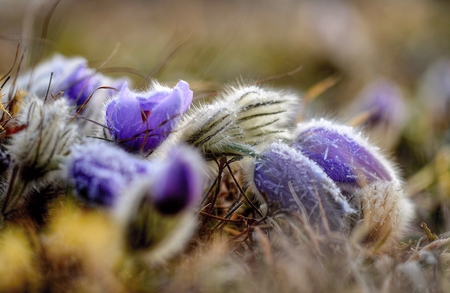pasque: the greater pasque flower in natural habitat, in the morning freezing cold, Brno, Czech republic