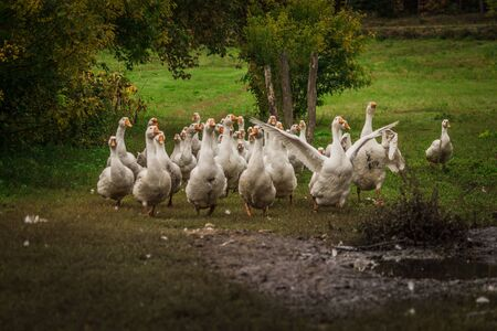 A flock of geese. White and gray domestic geese go in a crowd to graze in the grass. Little home goose farm.