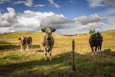 cows graze in the meadow of a Russian village Banque d'images