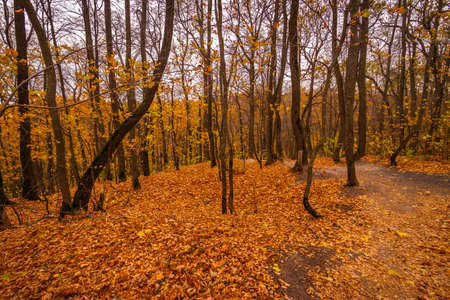 maple oak forest with yellow leaves in warm autumn. High quality photo