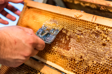 Beekeeping. The beekeeper removes the wax lids from honeycombs frames, preparing the frames for honey extraction Stok Fotoğraf
