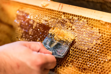 Beekeeping. The beekeeper removes the wax lids from honeycombs frames, preparing the frames for honey extraction 写真素材