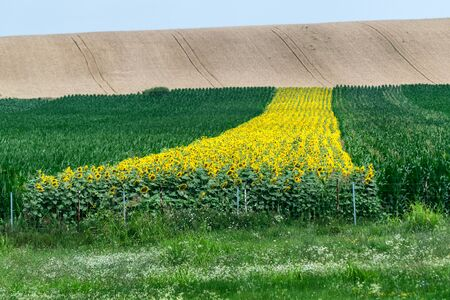 Row of sunflowers in the corn field with blue sky on a beautiful summer day Banco de Imagens