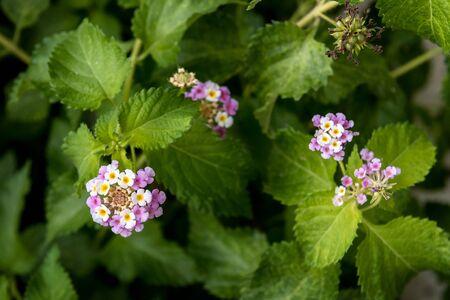 Umbelanterna flower, Lantana Camara, close-up stock photo, selective focus