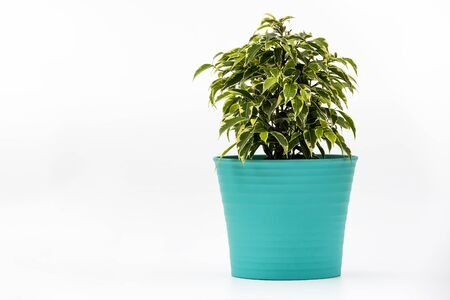 Ficus Kinky Houseplant in flowerpot on white background. Plant in a pot. Ficus Kinky tree Isolated on white background Stock Photo