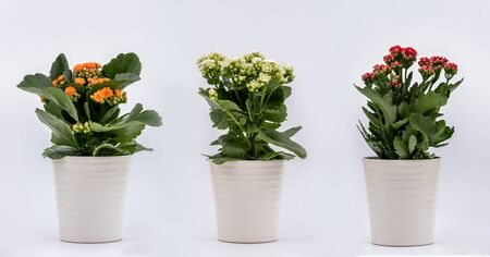 Three Houseplant - Flaming Katy with Orange Yellow flowers, White flowers and Red flowers in flowerpots on white background - each shot separately