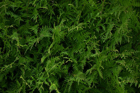 Beautiful green thuja plant close-up. Green hedge of thuja trees, Nature background copy space. Coniferous plant protection products.