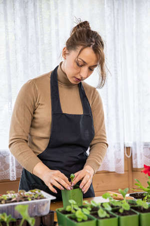 Beautiful caucasian housewife is planting microgreens at home. Fresh home-grown herbs in the kitchen. Gardening person, gardener flowers. Plant parent concept. Happy woman in spring day. Archivio Fotografico