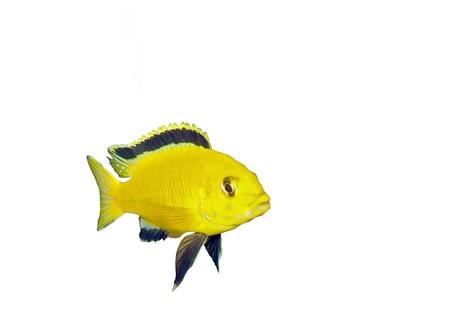 buntbarsch: Aquarium-Fisch-Cichlid Hummingbird Gelb. (Labidochromis caeruleus)