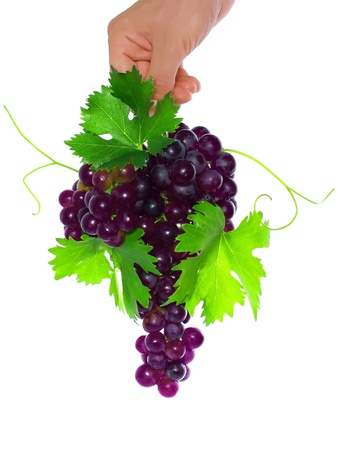 Branch of black grapes hold in hand with green leaf. Isolated photo