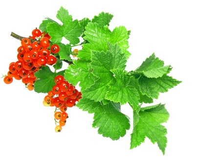 Red currant on branch with foliage . Close-Up. Isolated photo