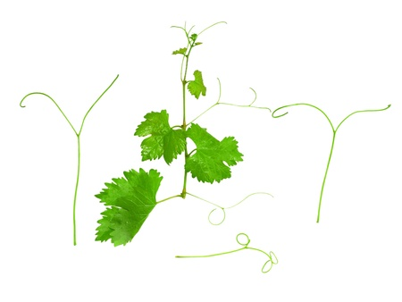 unpicked: Grapes green leaf with vine tendril. Isoalted over white