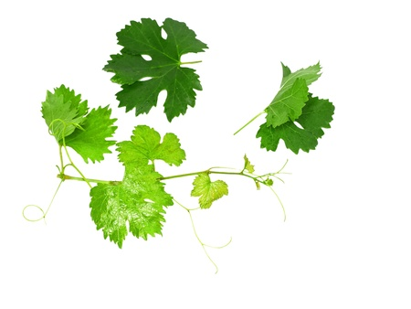 fruitful: Grapes green leaf . Isoalted over white Stock Photo