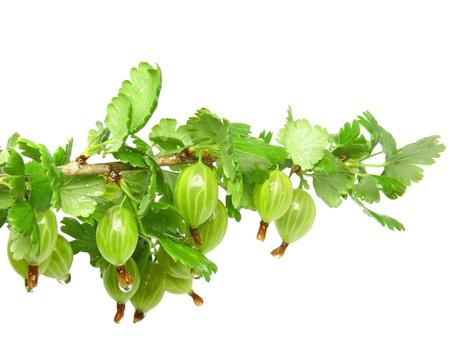 gooseberry bush: Ripe gooseberry on branch. Isolated over white