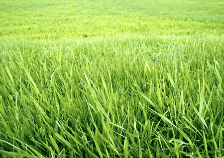 cut grass: Green grass background.  The wallpaper