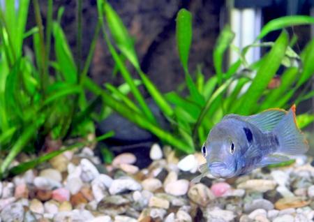 Aquarium Fish dwarf Cichlid.  (Apistogramma nijsseni). photo