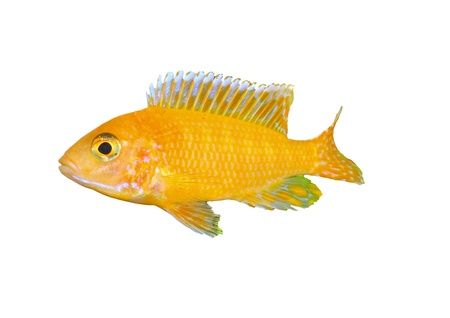 Aquarium Fish dwarf Cichlid-Aulonocara(Aulonocara sp. Orchidea Red) Stock Photo - 10397151