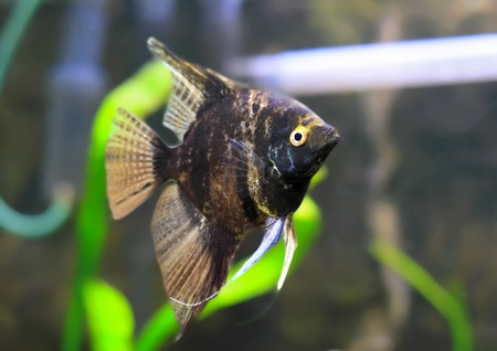 Aquarium Fish-  Black Scalare in water. Stock Photo - 10397153